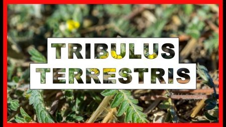 Como funciona o Tribulus Terrestris?